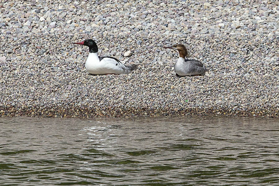 A pair of common mergansers enjoy the beach on Jackson Lake in Grand Teton National Park. (© Janet White/GeyserWatch.com)