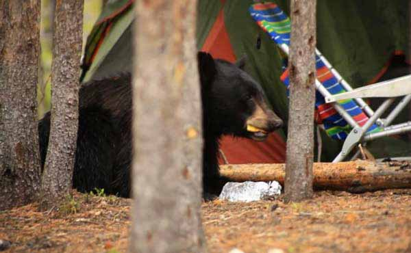 A black bear eats food taken from campers in Yellowstone National Park on June 22. The bear was killed out of concern for visitor safety. (NPS photo)