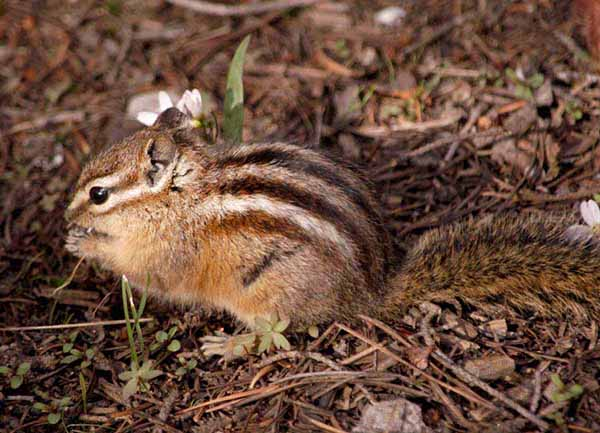 A chipmunk searches for food near Jenny Lake in Grand Teton National Park. (Ruffin Prevost/Yellowstone Gate)