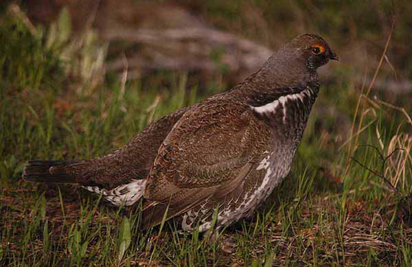 A male dusky grouse pauses between calls to a potential mate on Signal Mountain in Grand Teton National Park. (Ruffin Prevost/Yellowstone Gate)