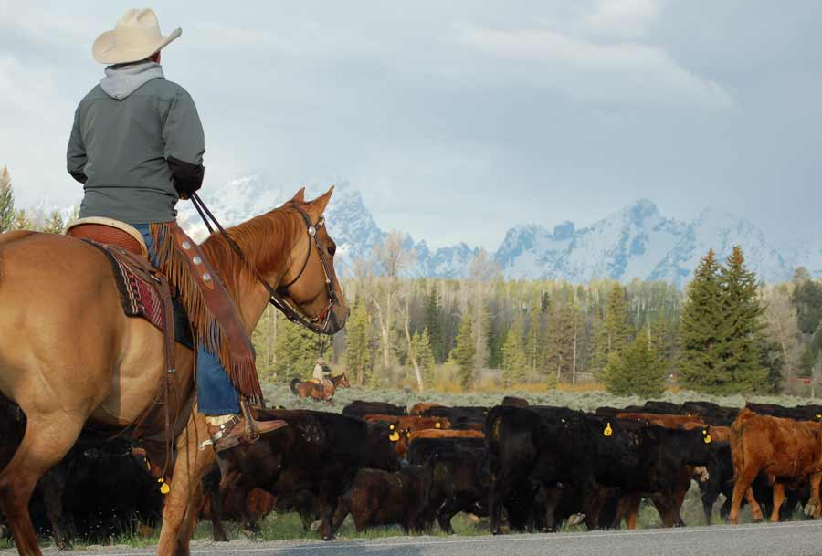 A planned cattle drive on June 8 may cause brief traffic delays in Grand Teton National Park. (NPS photo)