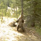 4bear-rub-tree
