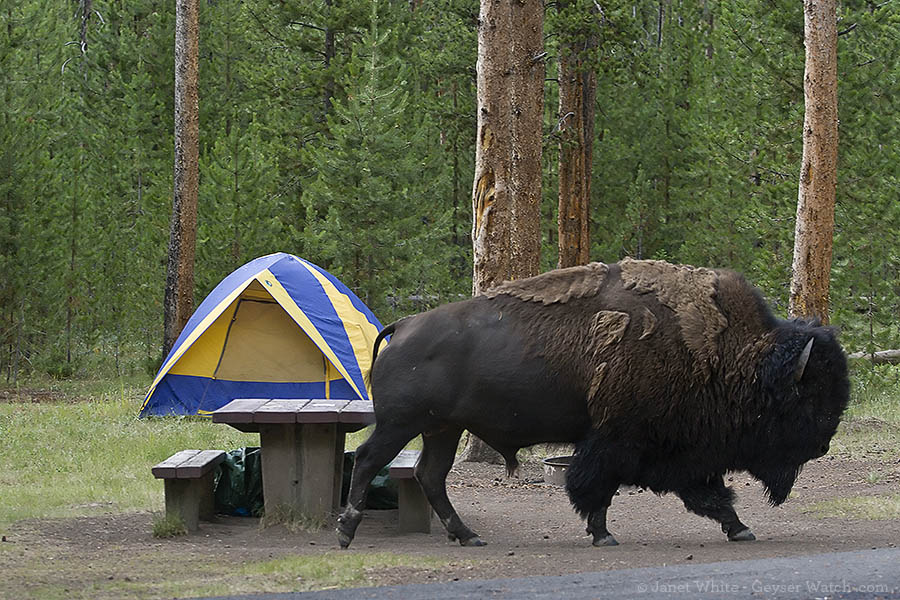 A bison walking through Madison Campground in Yellowstone
