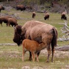 A bison calf nurses near the Madison River in Yellowstone National Park.