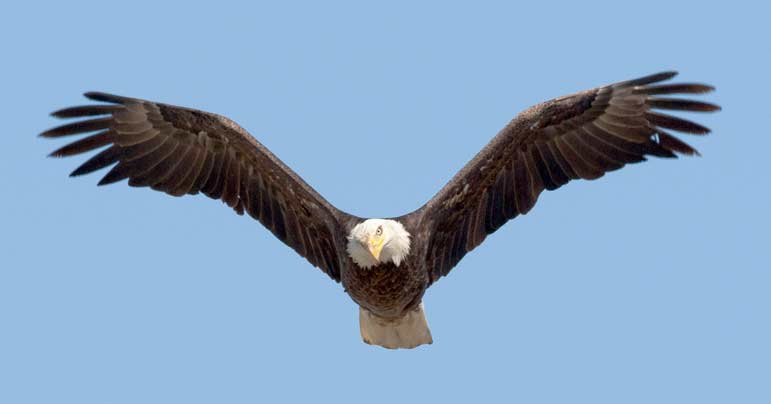 Bald eagles are among the many species of raptors that can be spotted in Yellowstone National Park.