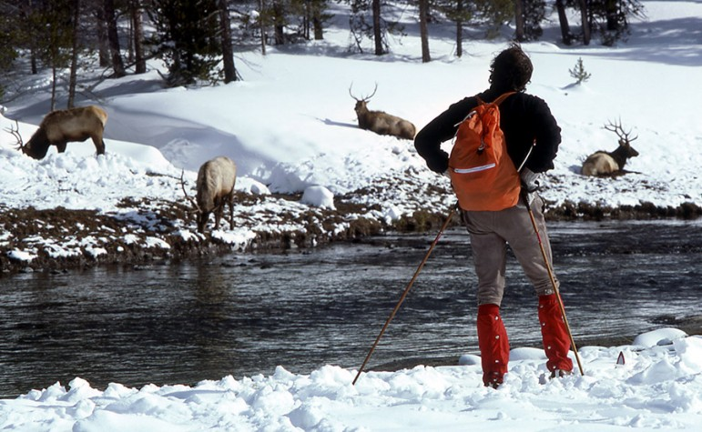 A skier watches elk in the Upper Geyser Basin of Yellowstone National Park.