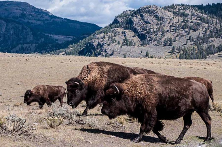 Bison wander through the Lamar Valley in Yellowstone National Park.