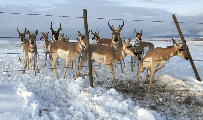 Pronghorn negotiate a barbed wire fence during their Wyoming migration. ©Joe Riis