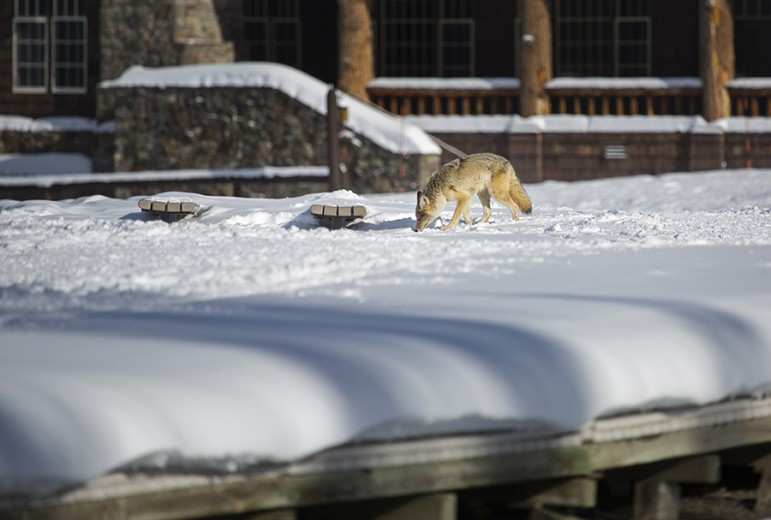 A coyote noses around the boardwalk at Old Faithful in Yellowstone National Park.