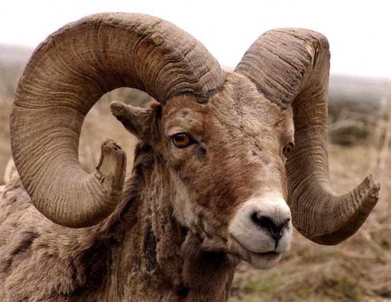 The region around Cody, Wyo. is home to one of the largest populations of bighorn sheep in the country.