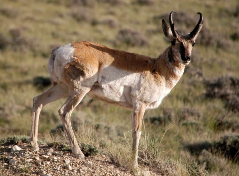 A pronghorn watches from a safe vantage near Sheep Mountain west of Cody, Wyo.