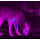 Thermal imaging reveals a bright blue patch near the shoulder of a captive wolf, whose fur was shaved to simulate the effects of sarcoptic mange.