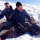 Researchers with the Wyoming Migration Initiative work with an elk captured in March near Dubois. The animal will be analyzed, collared and released so its movements can be tracked.