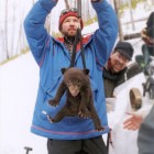 Yellowstone National Park biologist Kerry Gunther weighs a bear cub during field research.