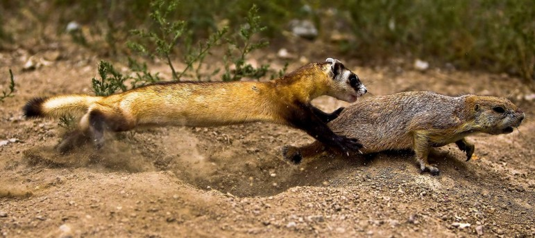 A black-footed ferret chases a prairie dog, which typically makes up more than 90 percent of the ferret's diet.