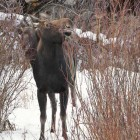 A moose browses on willows as another looks on.