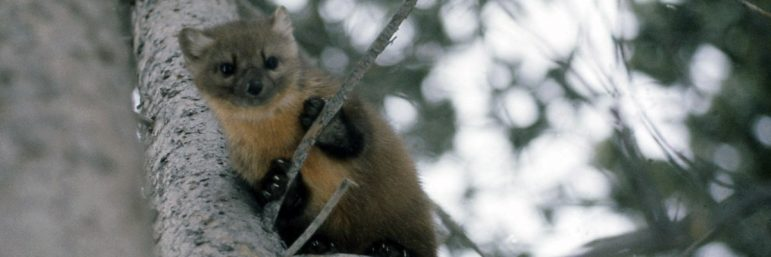 A marten near Yellowstone National Park attacked and killed a 125-pound dog after suffering a strange viral infection.