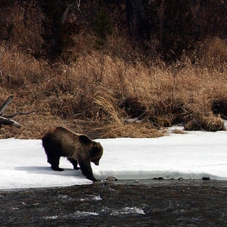 A grizzly bear tests the waters along the banks of the North Fork of the Shoshone River, just east of Yellowstone National Park.