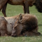 An elk snoozes while another grazes on a lawn in Mammoth Hot Springs in Yellowstone National Park.
