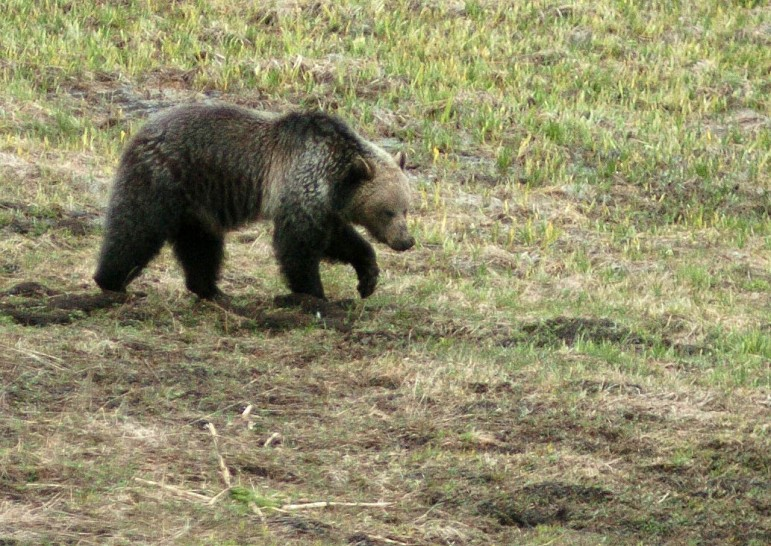 A grizzly bear digs in wet dirt near Cub Creek in Yellowstone National Park.