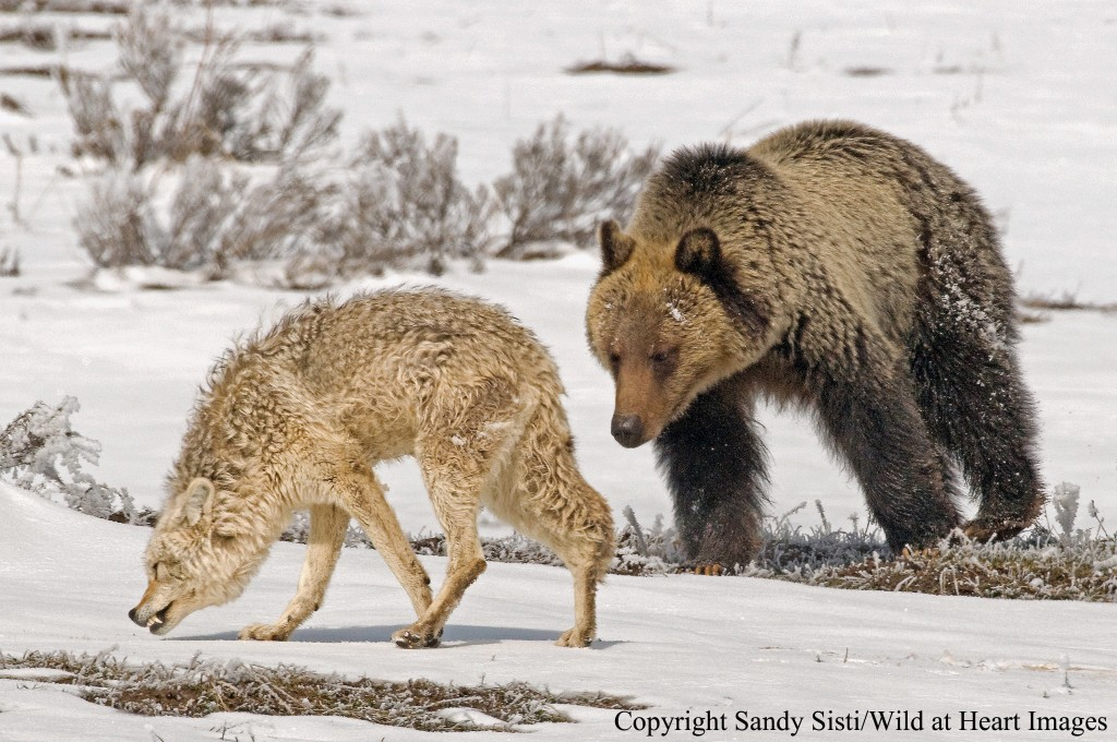 A subadult grizzly bear in Yellowstone Park's Hayden valley tries to attempts to have some fun with a wary coyote.
