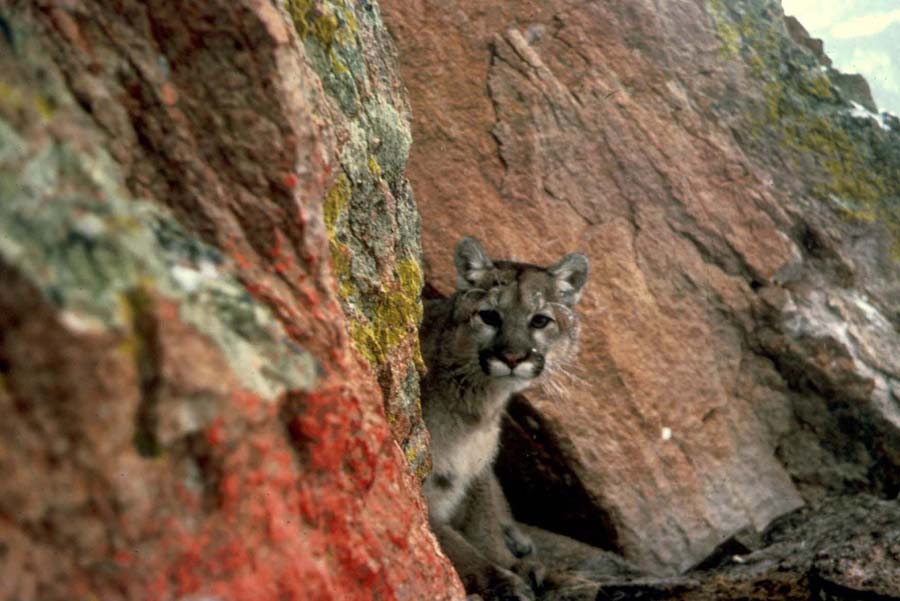A mountain lion peers out from its hiding spot. (photo by Larry Moats/U.S. Fish and Wildlife Service - click to enlarge)
