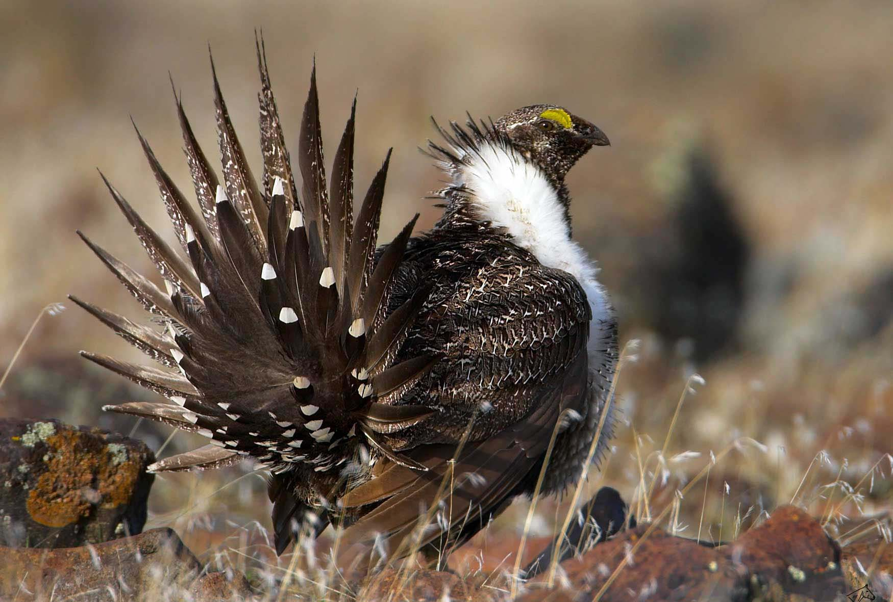 The greater sage grouse faces pressure from fragmented habitat resulting from development across the West. (Stephen Ting photo - click to enlarge)