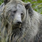 Wildlife officials have proposed ending federal protections for Yellowstone area grizzly bears.