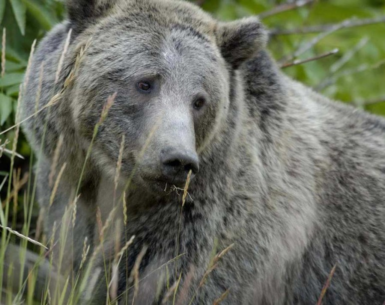 Grizzly bear managers voted unanimously this week to recommend ending protected status for Yellowstone area bears.