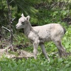 yellowstone-wildlife-bighorn-sheep