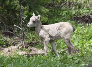 yellowstone-wildlife-bighorn-sheep