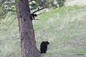 yellowstone-wildlife-black-bear