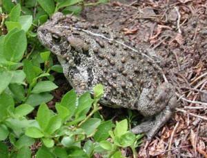 yellowstone-animals-boreal-toad