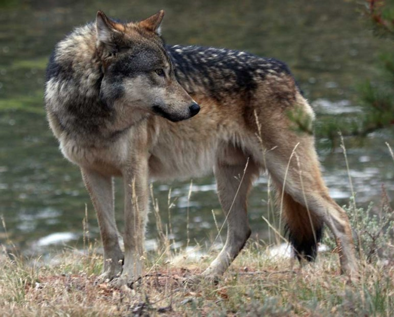 A male wolf from the Canyon pack in Yellowstone National Park watches for bison.