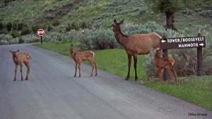 yellowstone-wildlife-elk