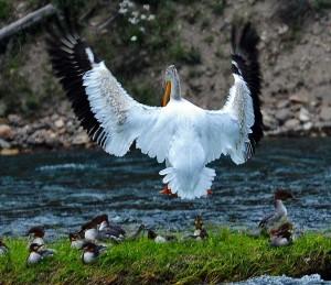 yellowstone birds