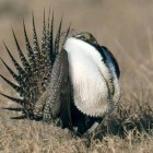 Male sage grouse perform elaborate courtship displayes to attract a mate. (click to enlarge)
