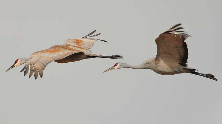 Sandhill cranes are among the birds participants may see during an annual event to count migratory birds across North America.