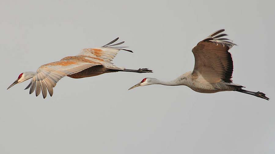 Sandhill cranes are among the Grand Teton birds participants may see during an annual event to count migratory birds across North America. (Rob Koelling - click to enlarge)