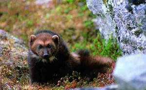 wolvering - yellowstone animals