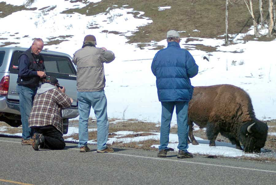 Visitors to Yellowstone National Park risk injury when allowing bison or other wildlife to approach within 25 yards. (Ruffin Prevost/Yellowstone Gate - click to enlarge)