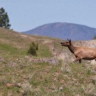Elk and other wildlife are moving along spring migration routes around Grand Teton National Park and nearby areas.