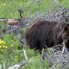 Grizzly bears can often be found along roads in Grand Teton National Park and Yellowstone National Park. (Ruffin Prevost/Yellowstone Gate )