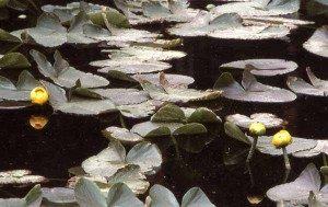 Yellow pond lilies grow in Isa Lake in Yellowstone National Park. (J. Schmidt - click to enlarge)