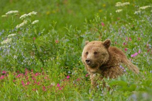 A grizzly sow sits among the wildflowers on Dunraven Pass in Yellowstone Park. (©Sandy Sisti - click to enlarge)
