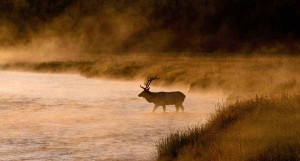 A bull elk crosses the Madison River on a frigid September morning in Yellowstone National Park. (©Sandy Sisti - click to enlarge)