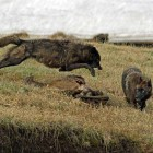 Two wolves from the Canyon Pack squabble over an elk carcass near Alum Creek in Yellowstone National Park. (©Sandy Sisti - click to enlarge)