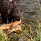 A river otter in Yellowstone National Park enjoys a bounty of three Yellowstone cutthroat trout. (©Meg Sommers - click to enlarge)