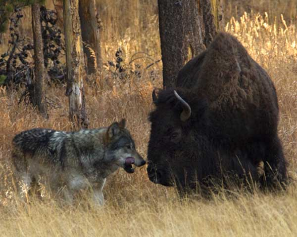 A wolf from the Canyon Pack stalks an ailing bison at Otter Creek in Yellowstone National Park. (©Meg Sommers - click to enlarge)