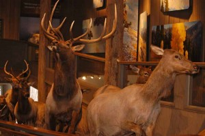 Elk mounts are used as educationl displays in the Jackson Hole Visitor Center at the National Elk Refuge in Jackson, Wyo. (Yellowstone Gate/Ruffin Prevost - click to enlarge)